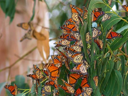 Name:  Monterey_Butterflies.jpg Views: 555 Size:  120.9 KB